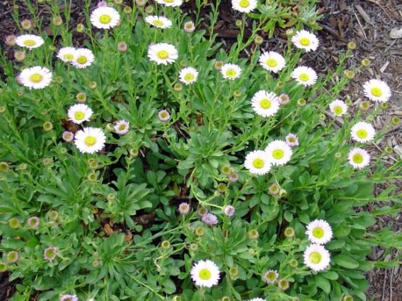 Erigeron glaucus 'Wayne Roderick' (California seaside daisy)